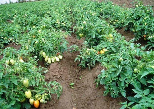 При выращивании помидоров в Краснодарском крае следует учитывать месторасположение участка