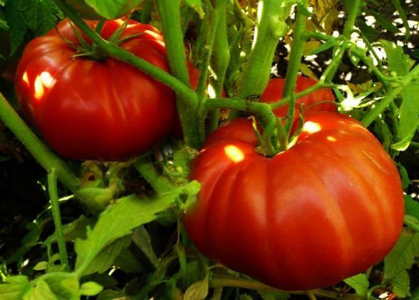Томат Чудо Рынка рекомендован для высадки в открытом грунте, поэтому для этого сорта подойдут южные регионы России