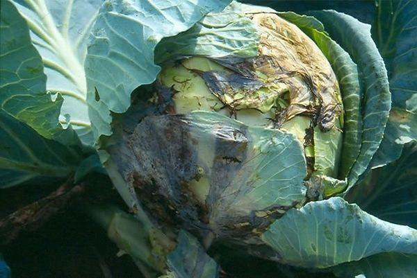 Болезни рассады цветной капусты 35