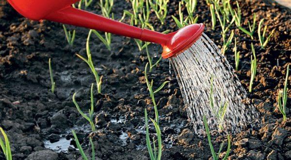 В первой фазе развития яровой чеснок наращивает зеленую массу, так что полив должен быть обильным
