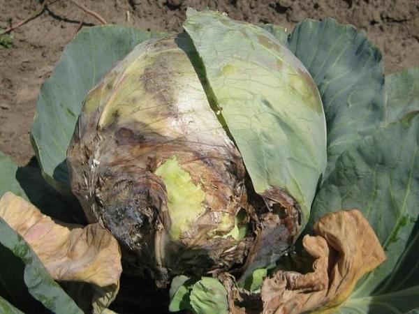 болезни капусты белокочанной в картинках