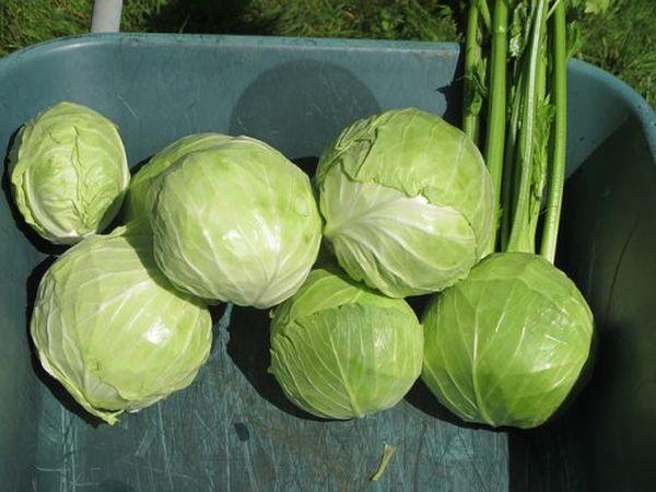 Сбор урожая производится в конце сентября-начале октября