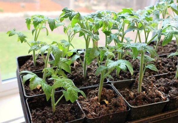 Для высадки помидор Бетта в грунт подходит 30-дневная рассада