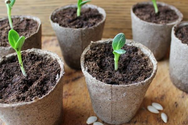 При рассадном методе выращивания грунт следует брать с той грядки, где впоследствии будут высажены молодые саженцы