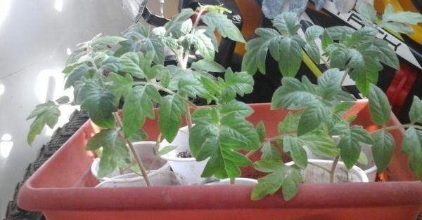 Для повышения урожайности рассаду помидоров Большая мамочка необходимо закаливать перед высадкой в грунт