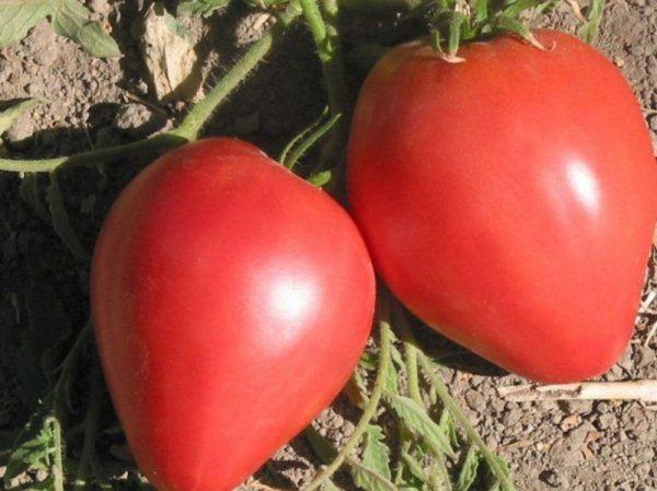 Детерминантный сорт томата Большая мамочка