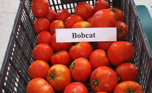 Томат Бобкат F1