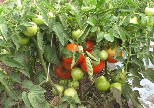 При регулярном удобрении можно увеличить урожайность до 8кг/м2