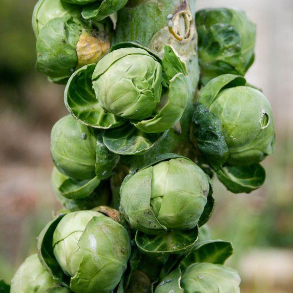 На каждом стебле вырастает 30-70 кочанчиков брюссельской капусты
