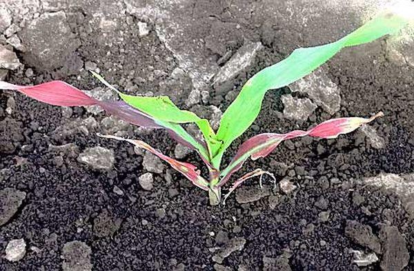При фосфорном голодании листья кукурузы могут приобретать фиолетовый оттенок