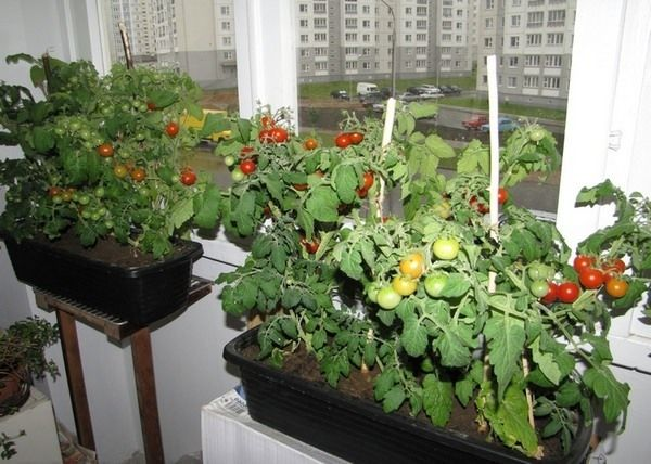 Если зимой недостаточно света - для выращивания черри понадобится дополнительная подсветка
