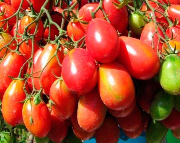 Плоды Чио чио сан могут дозревать и после сбора