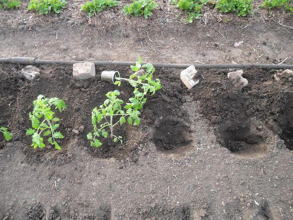 Рассаду томата высаживают в грунт примерно в середине мая