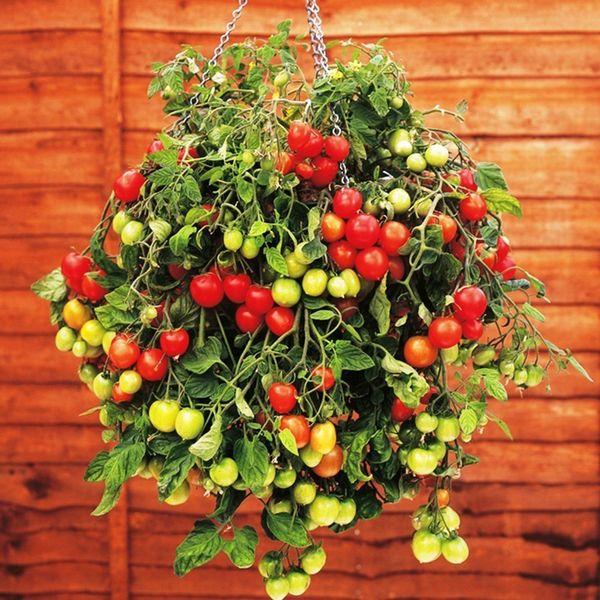 уход за ампельными помидорами