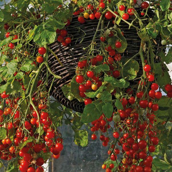 Ампельные томаты отлично растут даже в тени