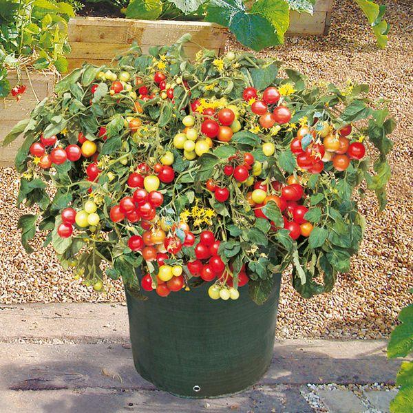 Для успешного выращивания необходима емкость объемом около 5 литров