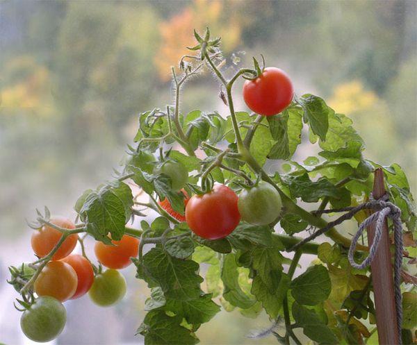 Ампельные томаты нуждаются в пасынковании, можно оставить 1 или 2 стебля