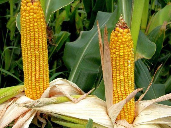 Лучшие сорта кукурузы