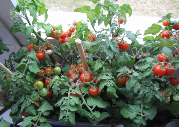 Зимнее выращивание томатов 74