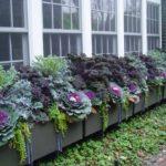 Ящики с декоративной капустой у окна