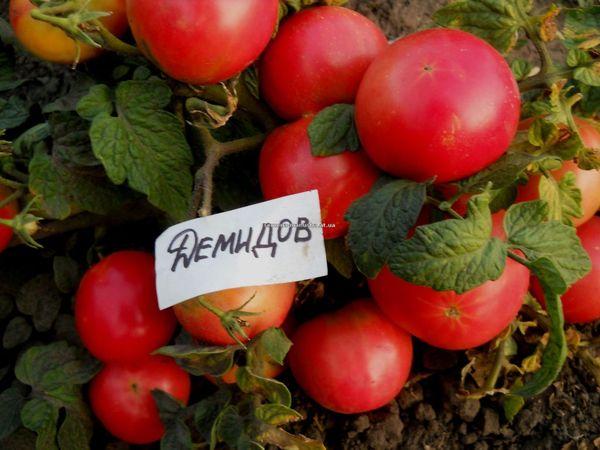 Томату Демидов необходим плодородный хорошо освещенный участок почвы