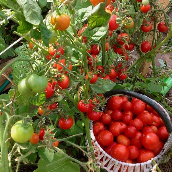 Свежесорванные томаты сорт Земляк