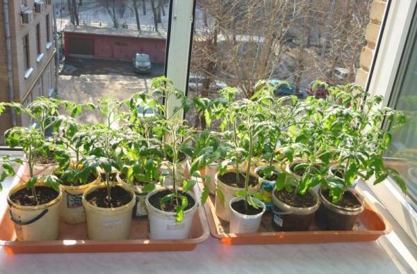 Закаливание рассады томатов Торбей