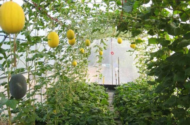 Выращивание арбуза и дыни в подмосковье 68