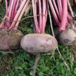 Лучшие сорта свеклы для выращивания в Подмосковье