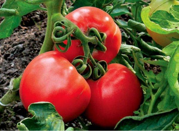 Средний вес плодов Ультраскороспелого составляет 100 грамм