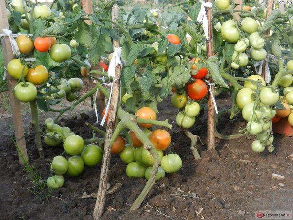 Основные достоинства сорта - ранний урожай и устойчивость к заболеваниям