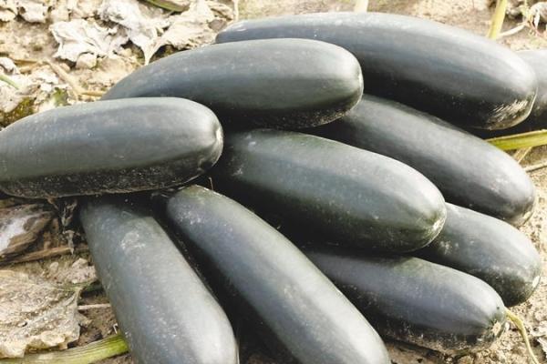 Собирать кабачки нужно регулярно при достижении плодов 15-20 см, каждые 2-3 дня