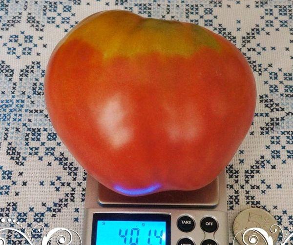 Одно из достоинств - вес плодов Фатимы может достигать 400 грамм
