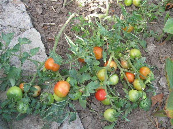 При правильном уходе урожайность Фатимы достигает 10 кг с кв.м.