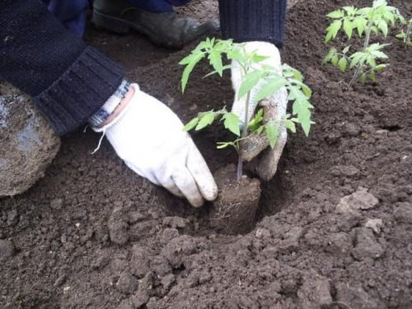 Саженцы высаживаются в грунт через 2 месяца после посева семян