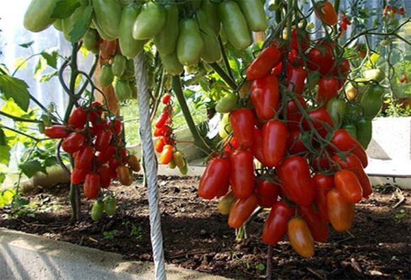 Для сбора семян подходят спелые плоды, чуть бурого цвета