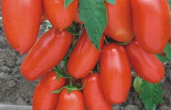 Плоды Гулливера имеют цилиндрическую форму и их вес составляет 130-200 грамм
