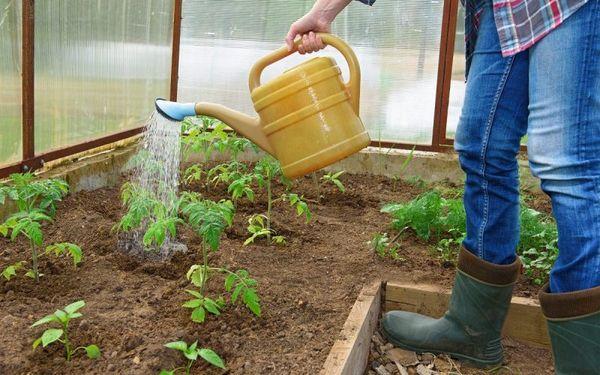 Полив производится по мере высыхания почвы - вечером и теплой водой