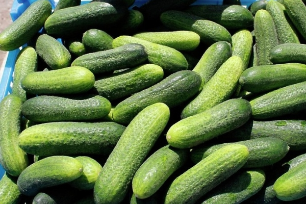 Плюсы вида: отсутствие горечи в плодах, хрустящая сочная мякоть, раннее созревание