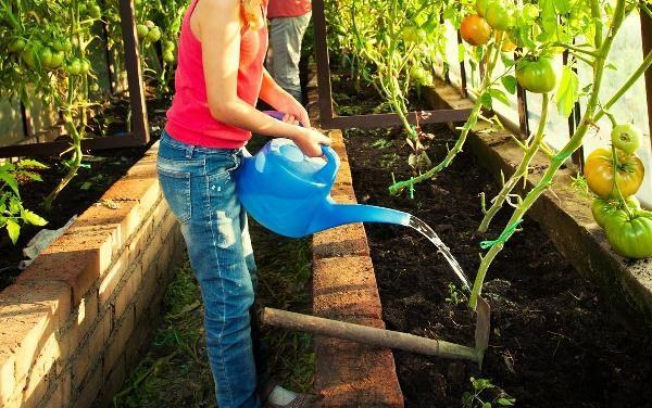 При выращивании томатов в теплице важен регулярный полив теплой водой