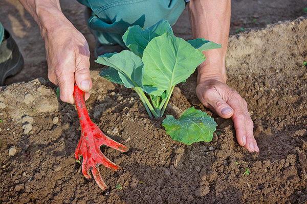 Посадка кольраби в открытый грунт рассадой 19
