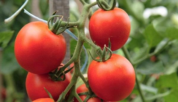 Что такое штамбовые томаты
