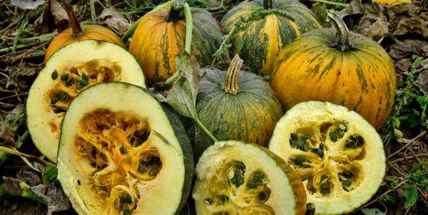 Степень созревания плодов определяют по усыханию листьев, плодоножки
