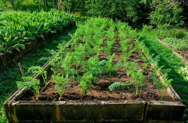 Подготовка грядки для посадки моркови