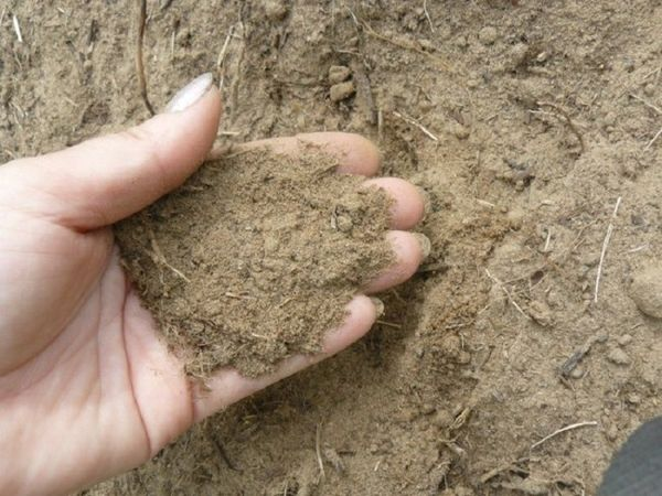 В песчаной почве морковь будет чувствовать себя хорошо при добавлении органики