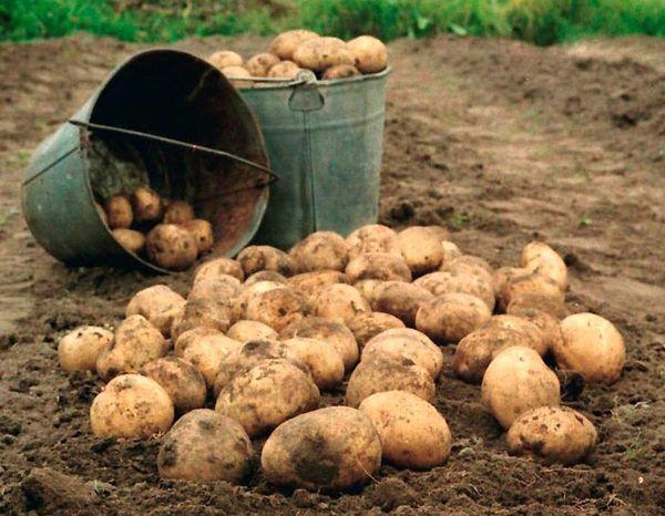 После сбора урожая его необходимо тщательно просушить