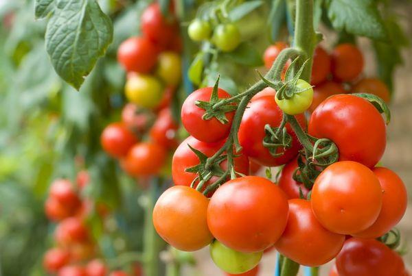 Посадка и выращивание томатов