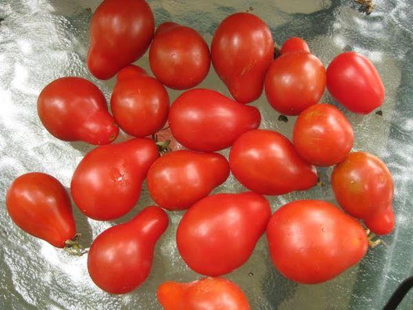 Максимальная урожайность сорта - 5 кг с куста