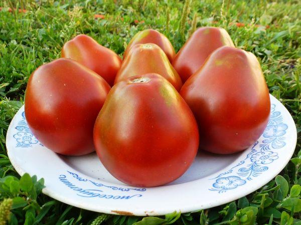 Здоровые плоды томата необходимо собирать отдельно от испорченных