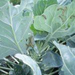 Гусеницы на листе капусты